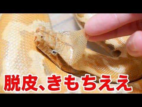 ヘビの脱皮の皮を剥くのが気持ちよすぎた