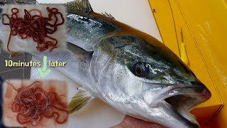 Worm parasites in Fish (Yellowtail)? Water more powerful than anthelmintics