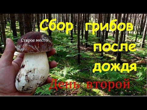 Сколько времени растет гриб и при какой температуре?