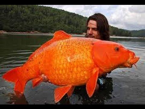 biggest goldfish ile ilgili görsel sonucu