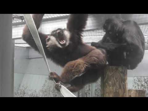Twycross Zoo - Gibbon House