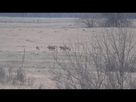 Suppressed Oklahoma Coyote Hunting