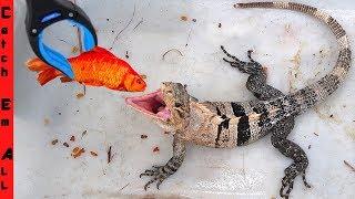 Cuddles the IGUANA Vs. FISH!