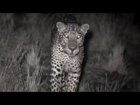 Leopard Kill Captured with Infrared Night Vision | Lands of the Monsoon | BBC
