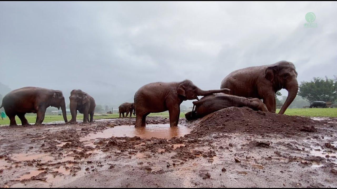 Elephant Wake Up Friend To Having Fun Under The Rain - ElephantNews