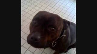 My Staffordshire Bull Terrier Tribute