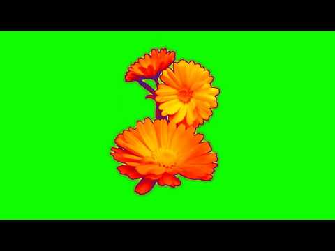 rose-flowers-green-screen-||-green-screen-flowers-effect-||-real-rose-background