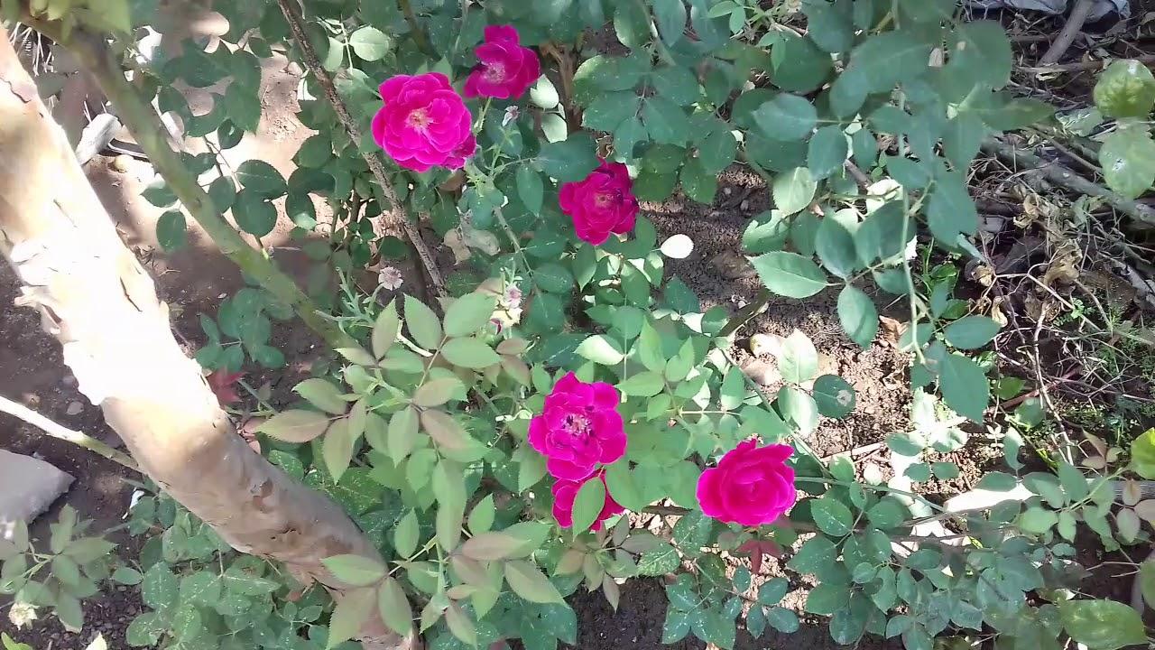 Very Beatifull Flowes Rose Desi Gulab