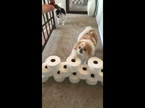 Toilet Roll Challenge  Japanese Chins