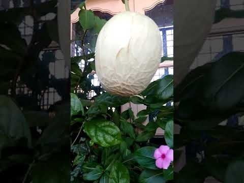 My first musk melon in container