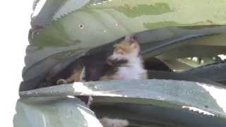 Прелестные котята,играющиеся в листьях Агавы Американской!!!Кирьят-Ям.Израиль.