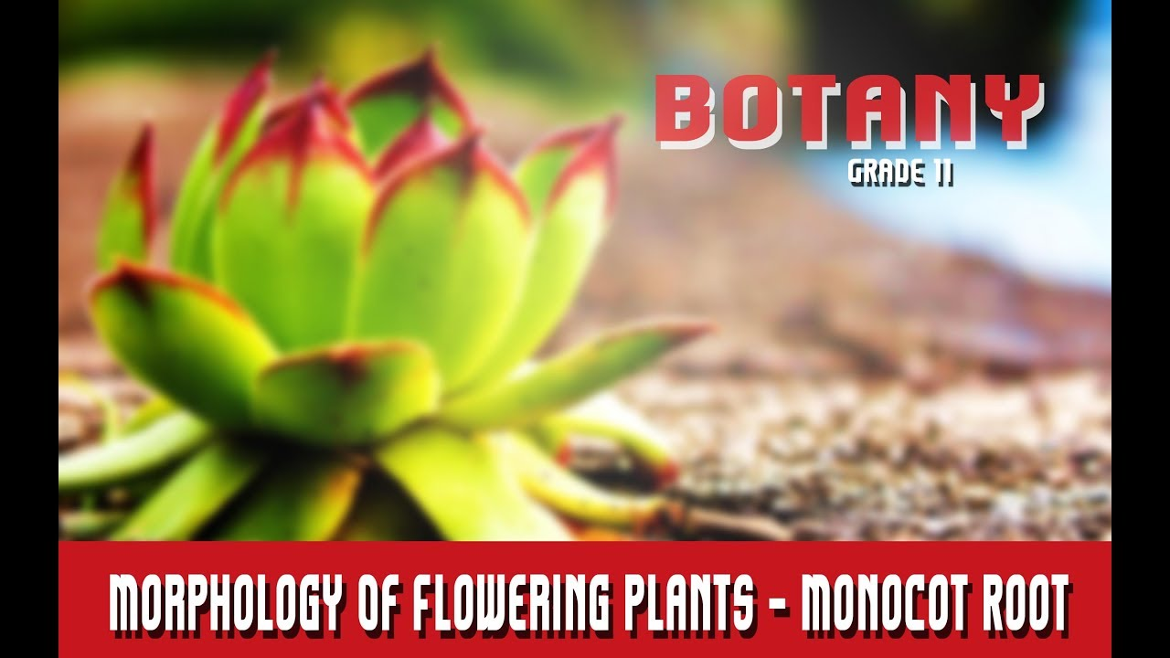 Botany Grade 11 | Morphology Of Flowering Plants | Anatomy | Monocot ...