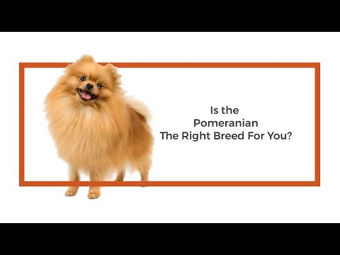 Is the Pomeranian the right breed for me?