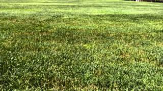 Rust Disease on Kentucky Bluegrass
