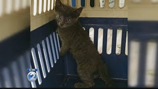 Adorable kitten rescued by Maui Humane Society