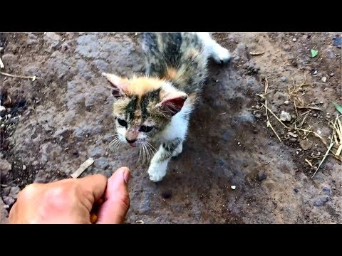 Poor Stray Kitten Meowing Loudly Because So Hungry - Cats Meowing