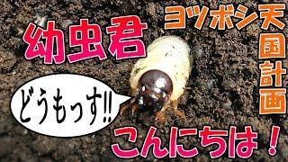 クワガタ&カブトムシ☆昆虫採集 ヨツボシ天国計画の進み具合は?】(く...