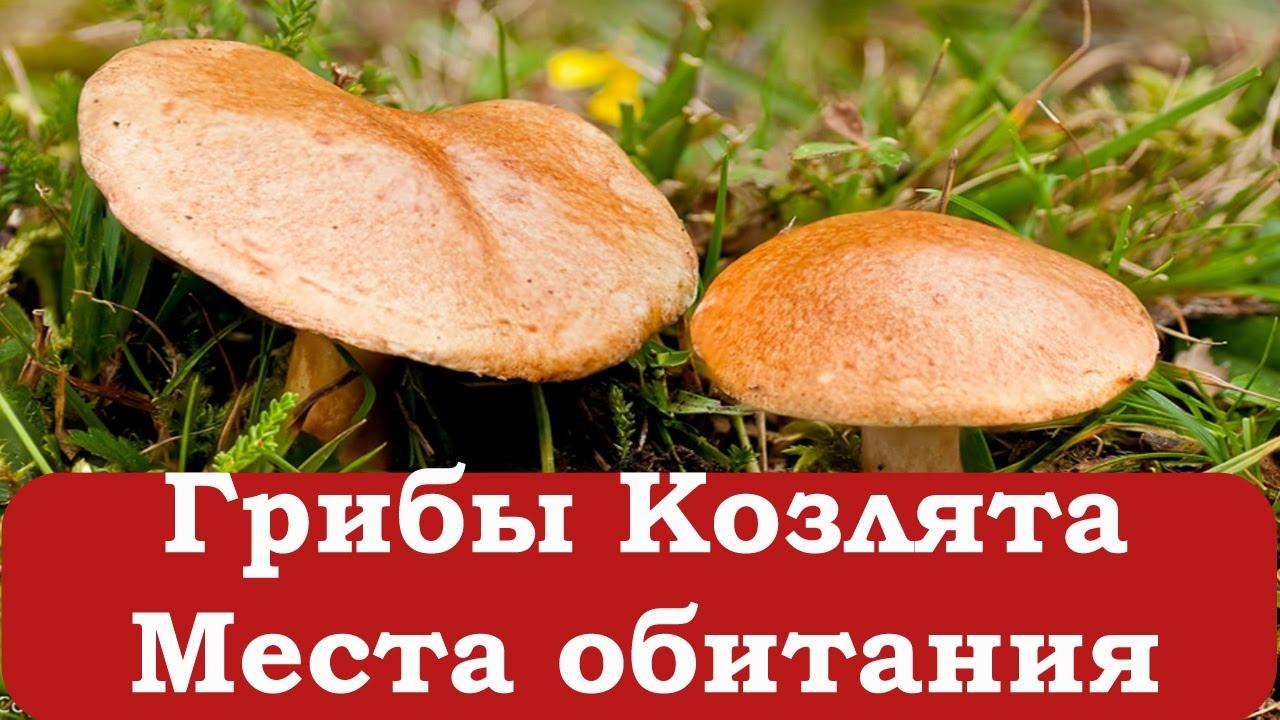 как готовить грибы козляки