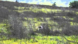 English Springer Spaniel Field Trial, Puppy Stake