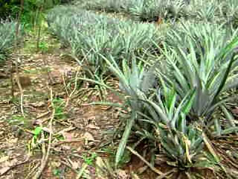Pineapple Plantation - YouTube