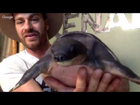 Pig-Nosed Turtle (Fly River) Live!