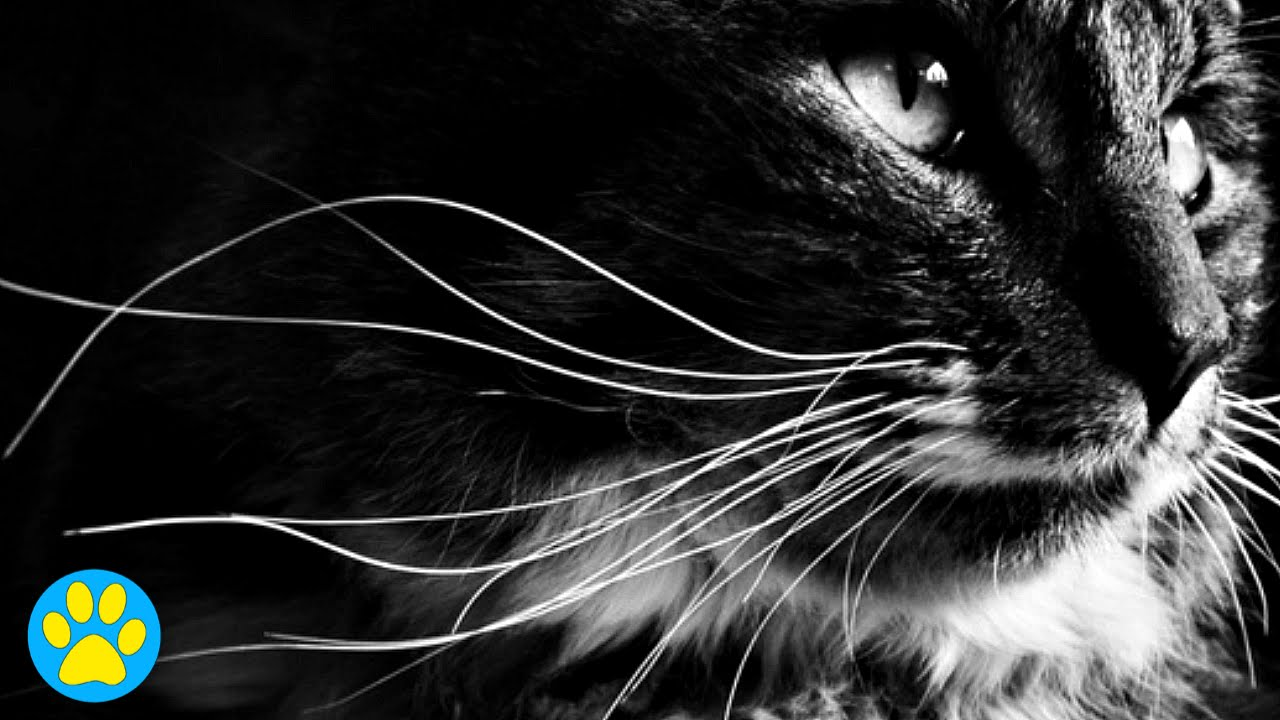 Why do a cat's whiskers fall off?