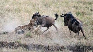 Мать антилопа защищает детёныша от голодного леопарда!