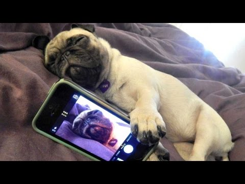 Funny Dogs but only Pug Videos   Pug Compilation 4 - InstaPugs