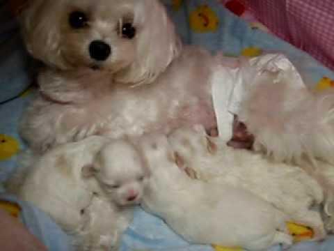 マルチーズ親子カリちゃんとエンジェルとマルチーズ赤ちゃん3姉妹 Youtube