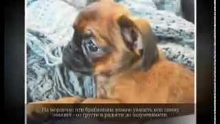 Маленькие породы собак ПТИ БРАБАНСОН