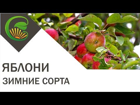 Вопрос: Сколько в России сортов яблок?