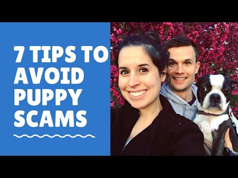 7-tips-to-avoid-being-scammed-when-buying-a-boston-terrier-puppy