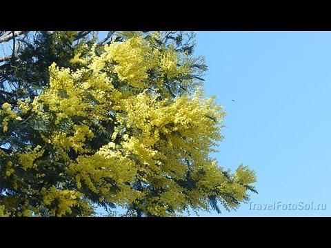 Цветы мимозы к 8 Марта фото