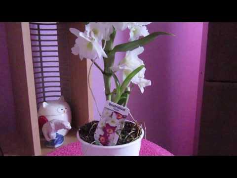 Орхидея Дендробиум Нобиле(уход за растением)