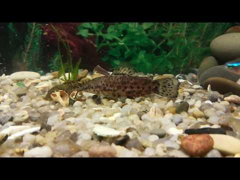 Как приживаются разные виды рыб такие как Гурами, Неоны, Боции, Молли...