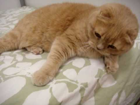 Cute Scottish Fold cat helps make the bed! Pounces and jumps