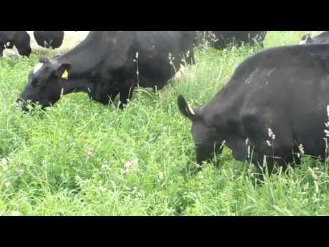 200 Organic Dairy Cows grazing