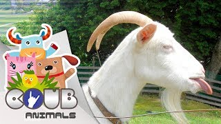 Смешные видео про животных #8 | COUB | Приколы с животными
