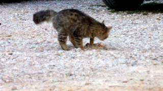 Γάτα με παιδεία - ( Ερήμην Καζανάκι τα σκέπασε σχολαστικά )