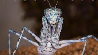 Eremiaphila sp. (desert mantis)