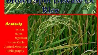 Brown Spot Disease of Rice