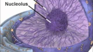 The Nucleus, Nucleolus, and Nuclear Envelope