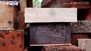Blajar ternak lebah lanceng