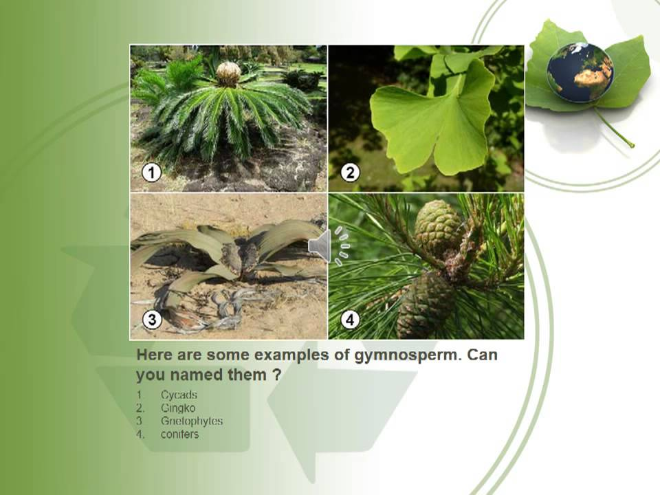 The Differences Between Gymnosperm And Angiosperm Youtube