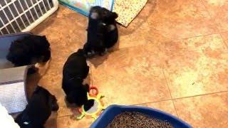 Puppy Play 6 weeks- Ludwig's Mini Schnauzers
