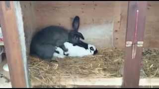 Кролики спариваются.
