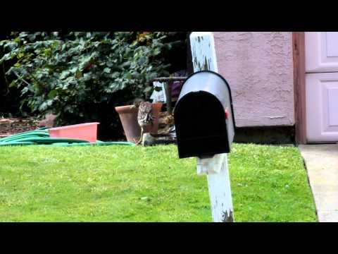 Baby Brown Heron