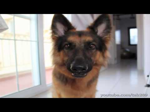 Intelligent Dog Trick! (Must-See German Shepherd)
