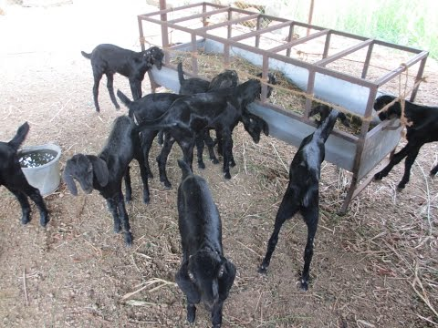how to become a goat farmer