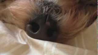 ソファーの隣で寝ているオーストラリアンラブラドゥードルのロビ 仰向け...